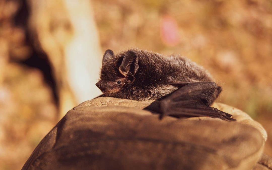 Removing Bats From Your Home – Its Importance And Other Solid Tips